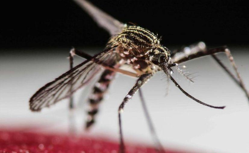 El virus del zika se ha propagado rápidamente por Latinoamérica. Fotografía del mosquito Aedes Aegypti, transmisor del zika, dengue y chikunguña. (Archivo/EFE)