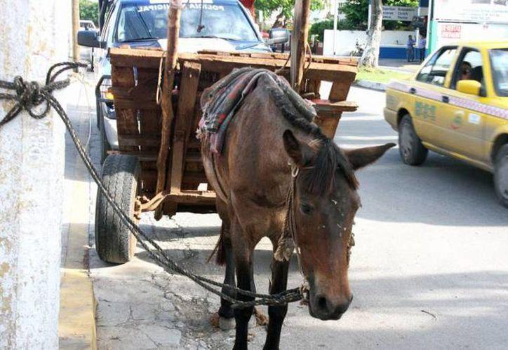 Según la Asociación Mexicana por los Derechos de los Animales, la mayoría de las denuncias han sido contra personas que han dañado o asesinado perros y caballos. (Archivo SIPSE)