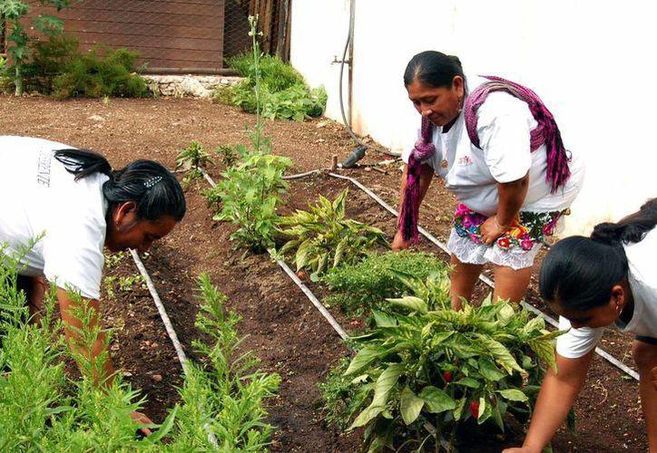 Los huertos de traspatio, de gran ayuda para la economía y alimentación familiar. (Milenio Novedades)