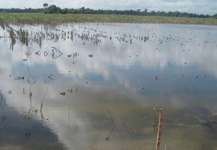 La hierba que alimenta al ganado de la zona rural está en riesgo de secarse, debido a la excesiva humedad que ha causado afectación. (Javier Ortiz/SIPSE)