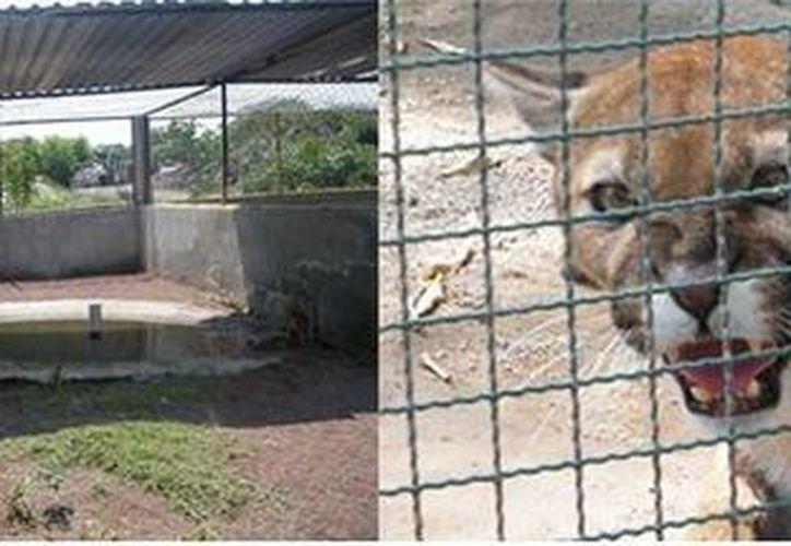 Entre los animales que Profepa rescató en Xochitepec, Morelos, se encuentran varios felinos en peligro de extinción. (Profepa)