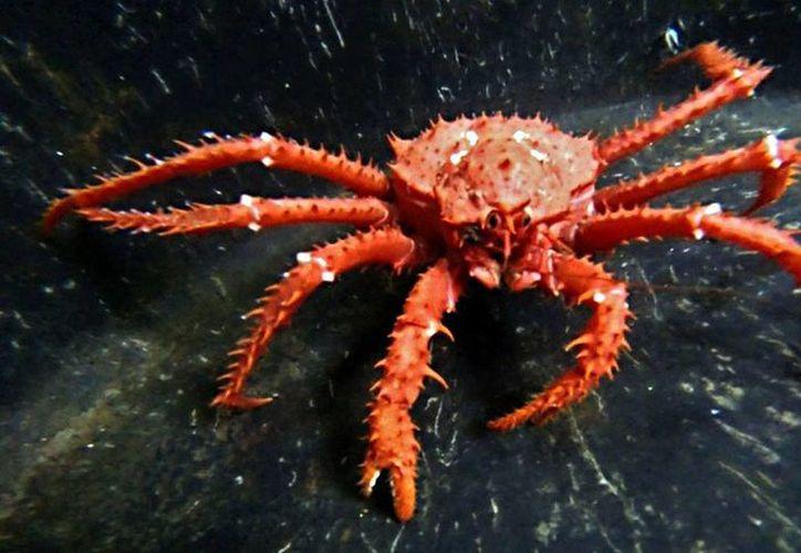 Los cangrejos rey podrán convertirse en grandes depredadores de ecosistemas antárticos. (vozpopuli.com)