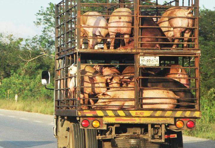 Consideran que con la inversión en el sector porcícola habrá un crecimiento en las ventas de exportación. (Milenio Novedades)