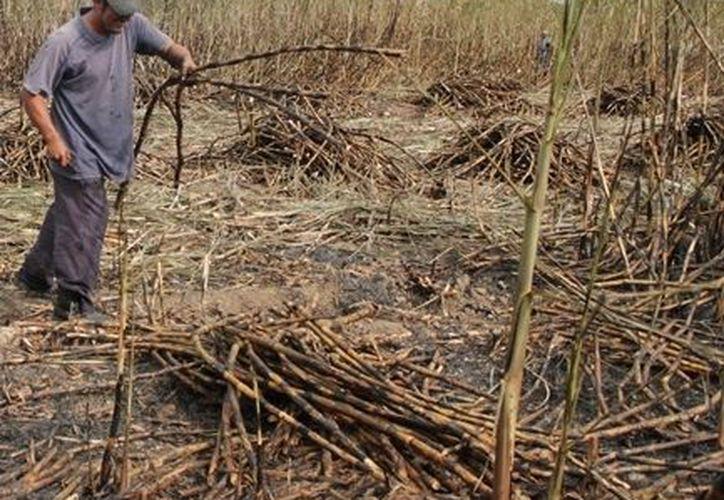 La caña de azúcar es el principal cultivo por los beneficios económicos que deja a los productores de la ribera del Río Hondo, en Othón P. Blanco. (Edgardo Rodríguez/SIPSE)