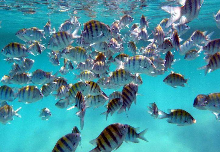 El área de refugio pesquero  en Akumal, protegerá 21 especies de peces. (Contexto/Internet)