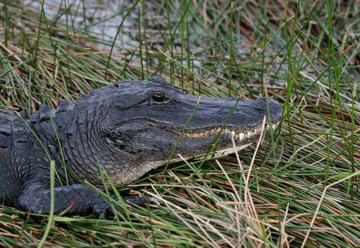 Fotografía de archivo de un caimán tomando el sol junto a las aguas pantanosas del Parque Nacional de los Everglades, en Florida, EU. (Archivo/EFE)