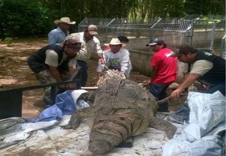 """Debido a que el lagarto es de sangre fría, le afecta más el cambio del clima del planeta. En la imagen, el rescate de un ejemplar de lagarto real o cocodrilo de río, reubicado en la UMA """"San Joaquín"""", en el municipio de Villa de Acala, Chiapas, el 26 de julio de 2016. (Archivo/Notimex)"""