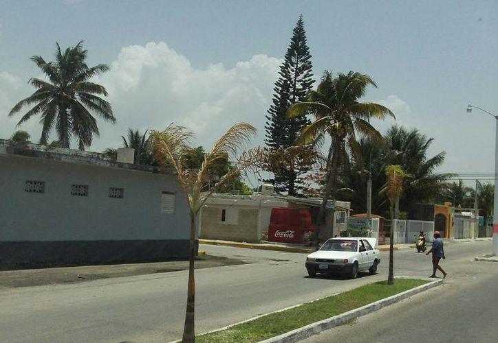 En varias avenidas de Progreso ya se pueden ver las palmas reales. (Manuel Pool/SIPSE)