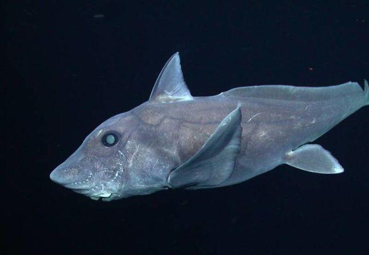 Tiburón fantasma visto en la costa de California central a una profundidad de unos 1.640 metros. (Foto tomada de elpais.com)