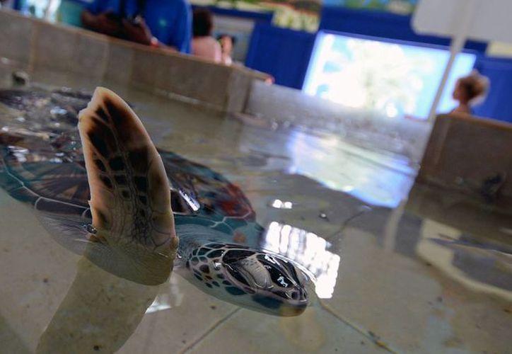 La aparición de las tortugas marinas, data de 250 millones de años antes de la época de los dinosaurios. (Redacción/SIPSE)