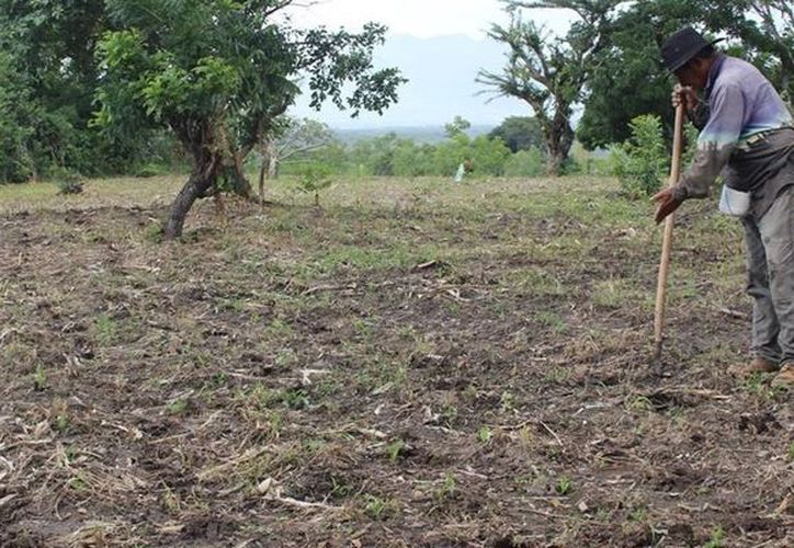 Los productores se movilizan para conseguir semillas y sembrarlas en tiempo y forma. (Carlos Castillo/SIPSE)