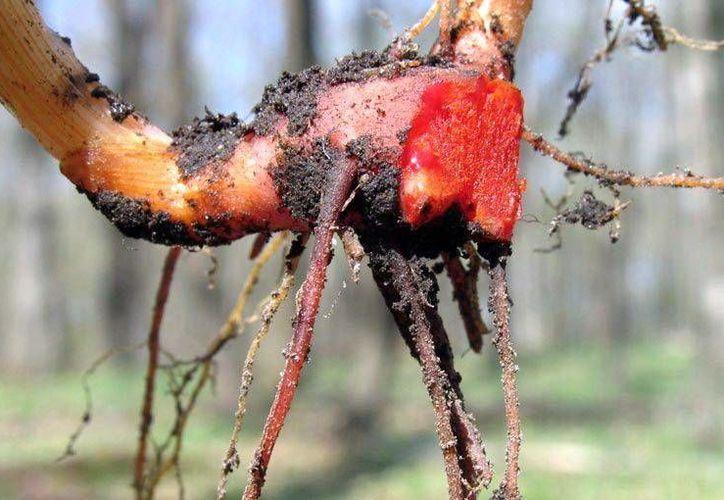 La savia de la raíz de la planta Sanguinaria funciona como colorante, pero además la planta tiene otros muchos usos, como el curar males renales. (Milenio Novedades)