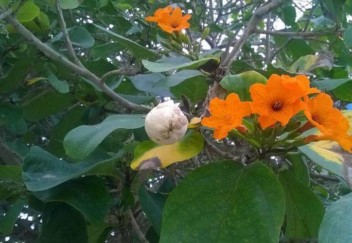 La planta llamada Anacahuita sirve para aliviar la tos y para desórdenes estomacales, pero incluso algunos dicen que sirve como cicatrizante. (Milenio Novedades)