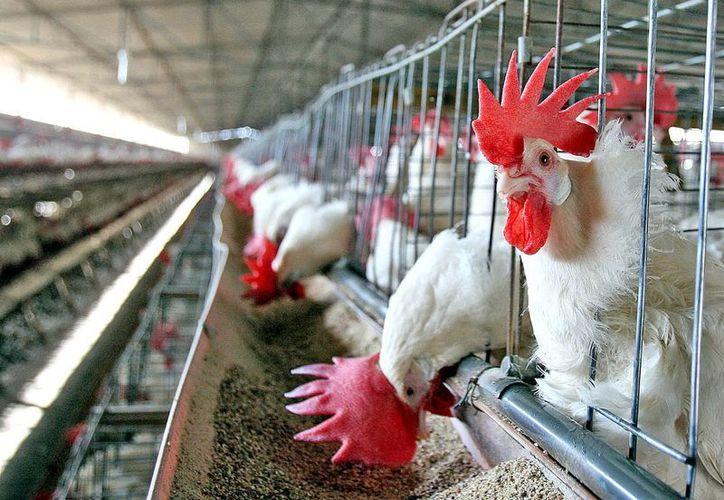 Productores comercializan un millón 200 mil aves a la semana.  (Milenio Novedades)
