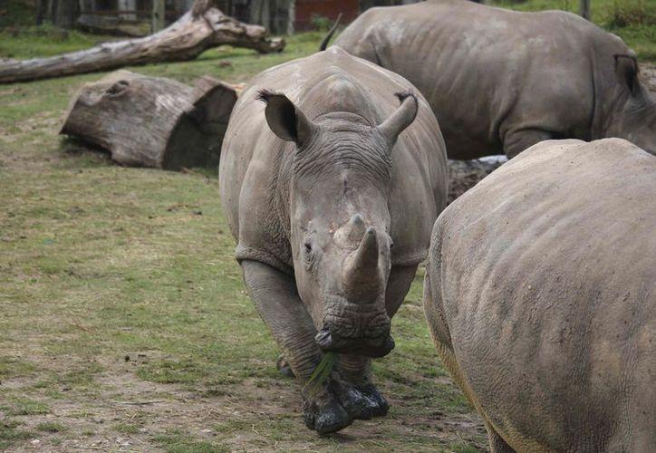 Un rinoceronte fue asesinado en el Thoiry Zoo cerca de París, famoso por sus recorridos estilo safari. (Domaine de Thoiry-AP)