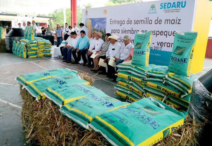 Los agricultores recibieron un lote de 11 mil bultos de semilla certificada VS-536, resistente a la sequía y de alto rendimiento. (Foto: Juan Rodríguez / SIPSE)