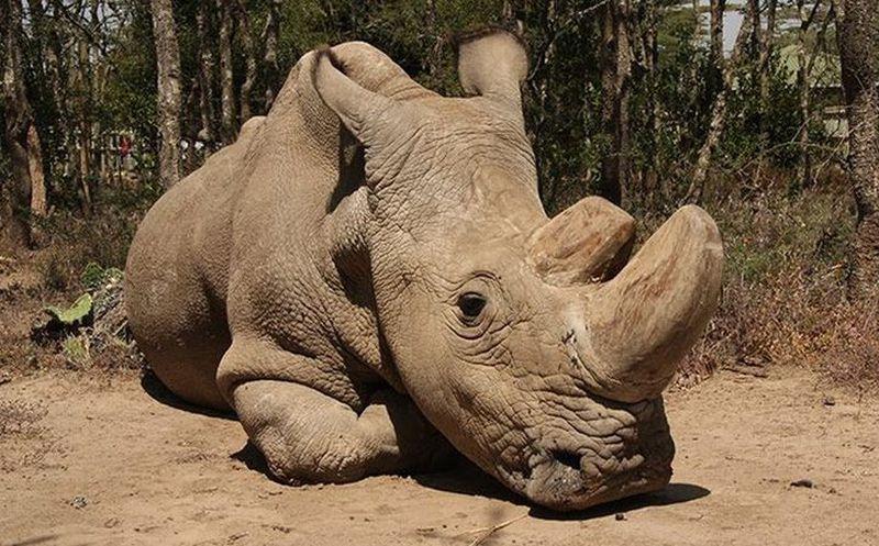 El último rinoceronte blanco del mundo está muy enfermo — Sudán