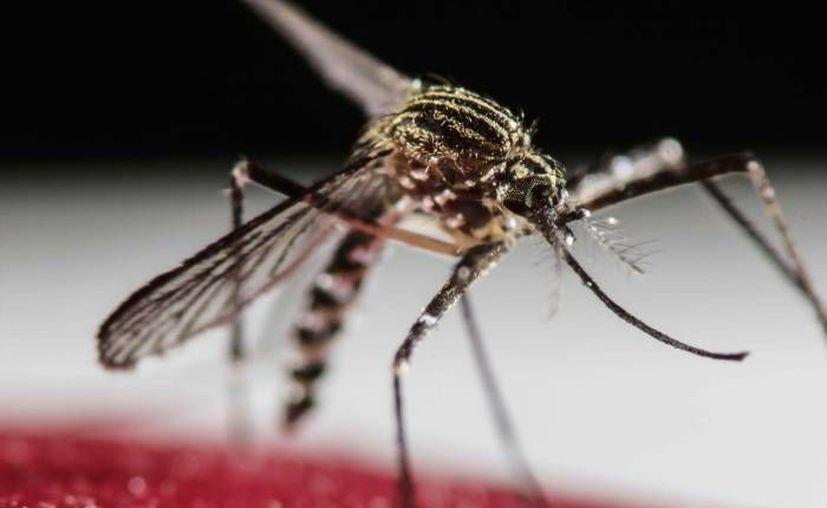 La Secretaría de Salud del estado (SSY) anunció este jueves un proyecto en colaboración con Colombia y con la Universidad Autónoma de Yucatán (Uady) para incorporar diversos trabajos a la investigación de enfermedades como dengue, zika y chikungunya, transmitida por el mosco Aedes aegypti. (Archivo/ EFE)