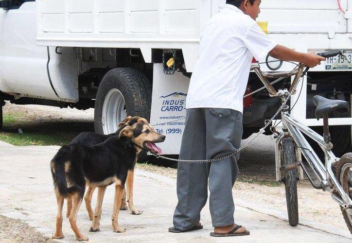 Del 25 de septiembre al 1 de octubre se aplicarán cerca de 175 mil dosis de vacunas  a igual número de animales en toda la entidad yucateca para evitar que haya casos de rabia. (Fotos cortesía del Gobierno estatal)