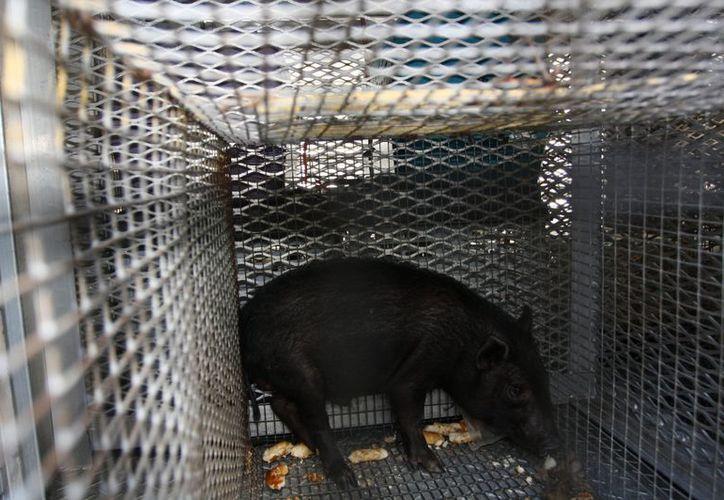 El cerdo que fue recuperado en la casa de un matrimonio estadounidense, que dice adorar los animales. (EFE)