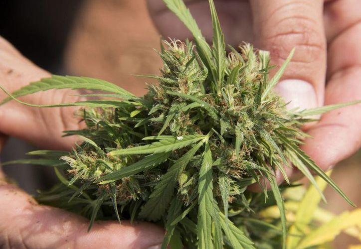 La SCJN amparó a cuatro personas para cultivar marihuana para autoconsumo. (Archivo/EFE)