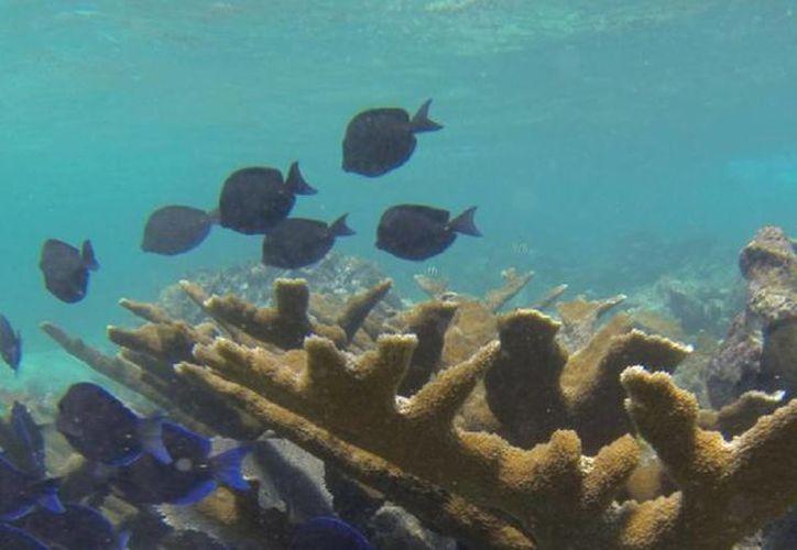 El yate afectó a 120 metros cuadrados de coralinos. (Redacción/SIPSE)