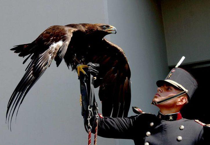 Ante el riesgo que corre el águila real, el gobierno de México creará un Centro Nacional de Control y Protección de esta especie. En la imagen, un cadete sostiene un águila real, después de que se dio a conocer el proyecto, el 13 de febrero de 2017. (Notimex)