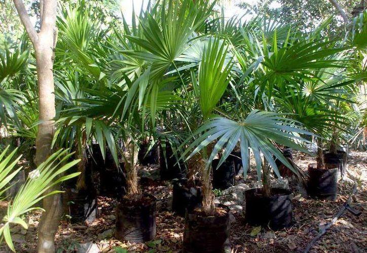 Alumnos voluntarios del Colegio de Bachilleres plantaron palma chit para conmemorar el Día de la Tierra. (Contexto/Internet)