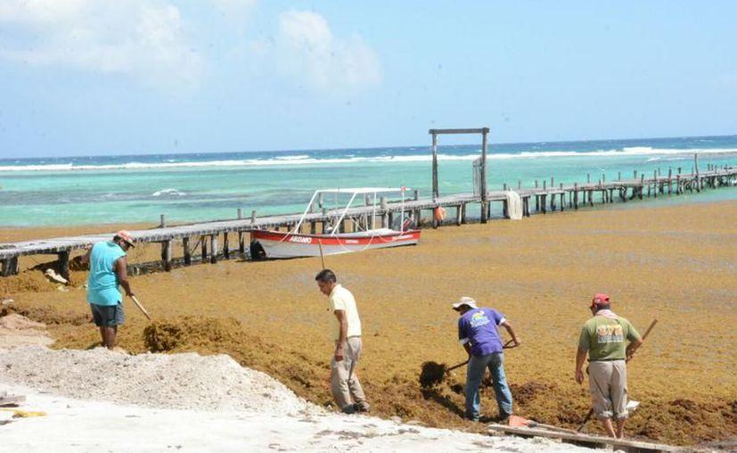 El sargazo ha causado males respiratorios y gastrointestinales a los trabajadores que lo retiran de los arenales de Mahahual. (Alejandra Carrión/SIPSE)