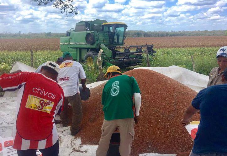 Prevén cosechar 40 toneladas de sorgo sólo en 20 hectáreas de la comunidad de Vallehermoso.  (Carlos Castillo/SIPSE)