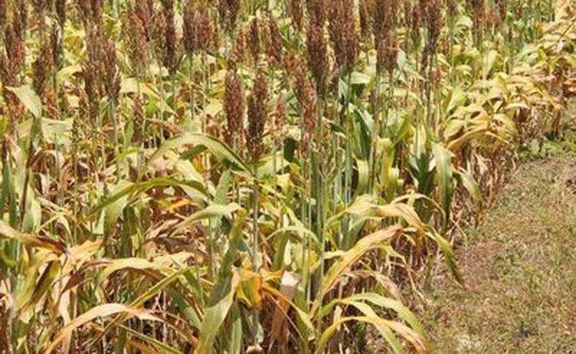 El seguro Cadena cubre toda la superficie de maíz, que asciende a 75 mil hectáreas. (Archivo/SIPSE)