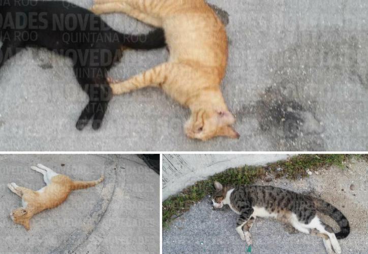 Desconocen qué tipo de veneno se utiliza para matar a los gatos. (Daniel Pacheco/SIPSE)
