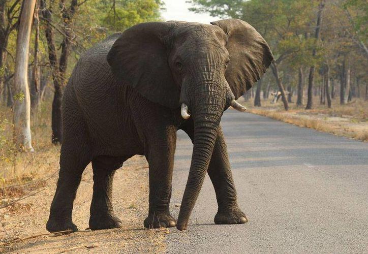 Autoridades de Zimbabue confirmaron que, en una cacería legal, mataron a uno de los elefantes más grandes de África. La imagen no es del animal, sólo esta utilizada con fines ilustrativos. (Archivo/AP)