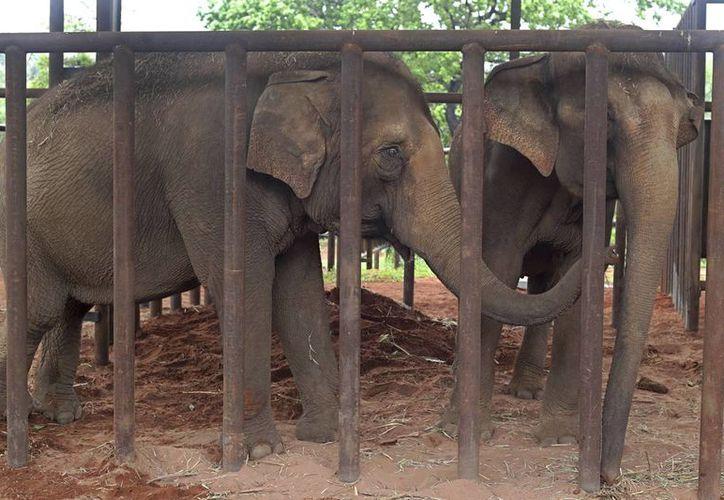 """Los elefantes """"Guida"""" y """"Maia"""" se unen por primera vez en su nuevo hogar, el primer santuario de elefantes de América Latina, en Chapada dos Guimaraes, Brasil. (Foto AP / Eraldo Peres)"""