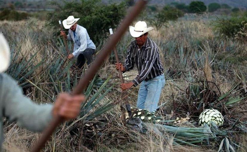 El Gobierno del Estado de Jalisco anunció que se mantiene la producción de tequila, por tratarse de una industria esencial para el país. (Foto: Reforma).