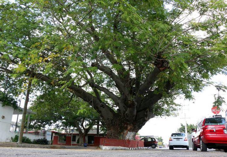 Se busca que Mérida cuente con suficientes recursos ambientales. Imagen de contexto de un gran árbol en Mérida. (Milenio Novedades)