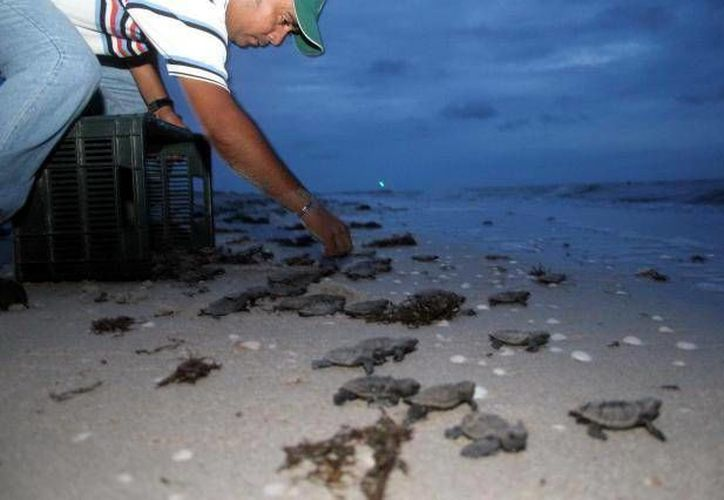 Autoridades ambientales se preparan para la llegada y anidamiento de tortugas de carey en la costa yucateca. (SIPSE)