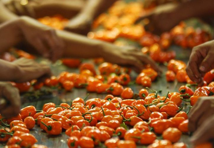 En la Península de Yucatán aún no se aprovecha al 100% la denominación de origen del chile habanero. (Notimex)