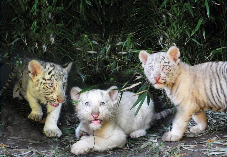 El característico color de los tigres de bengala se debe a un gen recesivo. (EFE)
