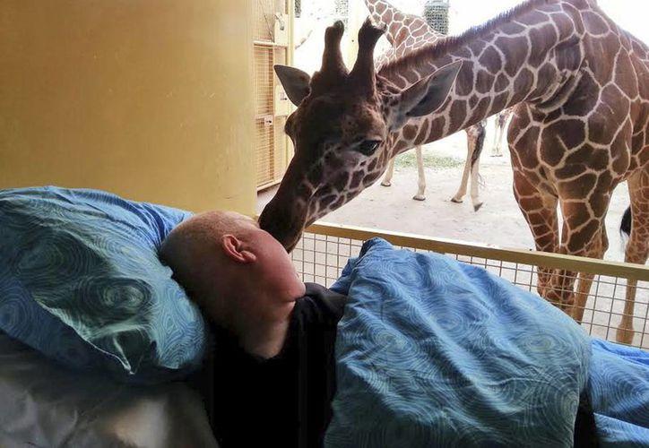 Este es justo el momento en que una jirafa del zoológico de Blijdorp, en Rotterdam, saluda a Mario Eijs. (Agencias)