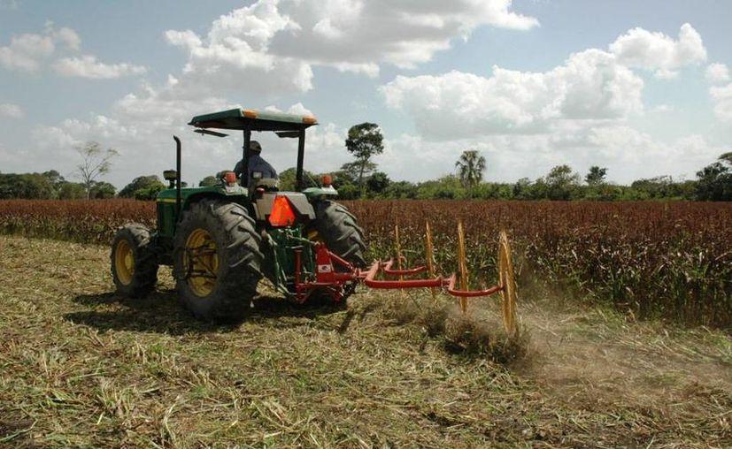 Además de la larga sequía, los productores de maíz enfrentan un incremento constante de los insumos, así como un mercado adverso que ha puesto el precio del kilogramo en sólo tres pesos. (Edgardo Rodríguez/SIPSE)