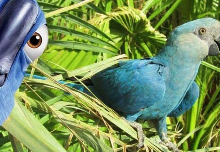 La guacamaya que inspiró la película Río ya está extinta, según la organización Birdlife International. (Publimetro.com)