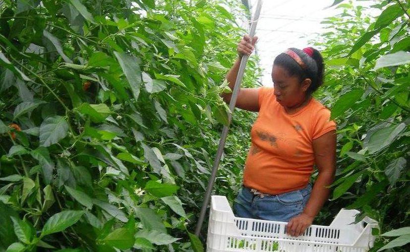 Una mujer cosecha chile habanero, uno de los productos yucatecos que más se ha beneficiado con el registro de marcas. (Archivo/SIPSE)