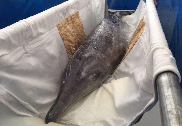 En una tina hecha de lona trasladaron al delfín hasta el punto de liberación. Foto: @Tvislamujeres.
