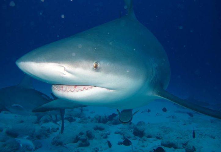 La Capitanía de Puerto señalizará las zonas de avistamiento del tiburón toro.  (Cortesía/Phantom)