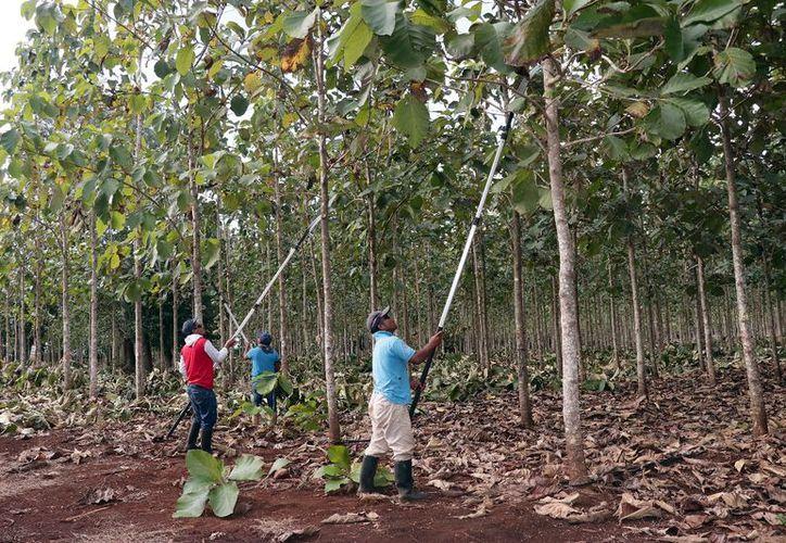 Imagen de los árboles de teca, en el oriente de Yucatán. (Fotos: Jorge Acosta/ Milenio Novedades)