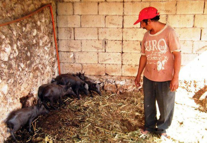 La cría de cerdo pelón ofrece competitividad y rentabilidad para los criadores yucatecos. (SIPSE)