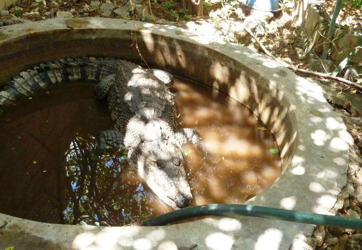 Un cocodrilo de 1.85 metros de largo fue rescatado por la Profepa en un predio de Montes de Ame, en el norte de Mérida, y trasladado a Valladolid. (Foto cortesía de Profepa)