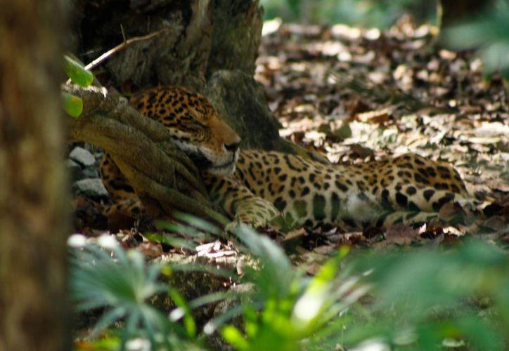 Subrayaron que en el caso particular de Quintana Roo, el impacto turístico ha ocasionado una degradación ambiental que afecta a especies como los jaguares. (Daniel Pacheco/SIPSE)