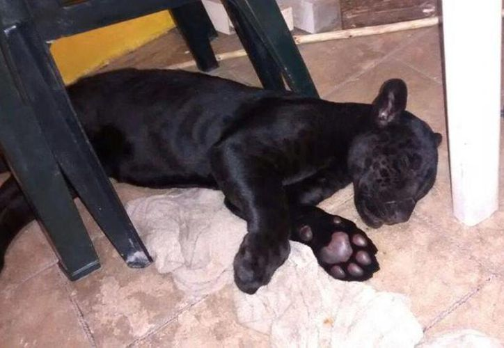 Esta pantera de cinco meses es 'rematada'  en 60 mil pesos por los administradores de 'Obsidian Reptiles'. (Facebook/Obsidian Reptiles)